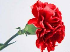 drawings of carnations mini carnation flowers pictures
