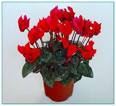 common flowering house plants