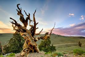 why a scientist cut the oldest living tree high country news