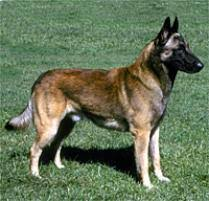 belgian sheepdog rescue ohio adopt a belgian malinois dog breeds petfinder