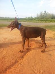 belgian malinois import pup for sale doberman pinscher puppies for salearizona working dog