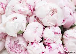 where to buy peonies white and pink peonies background wallpaper buy this stock