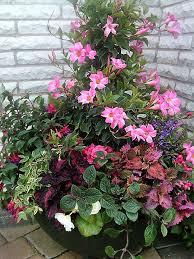 Mandevilla Plant Diseases - 51 best mandevilla images on pinterest flowers flowering vines
