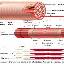 skeletal muscle microscopic anatomy images human anatomy learning