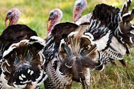 factory farmed turkeys 7 shocking facts your thanksgiving bird