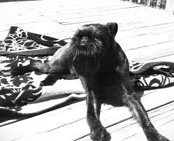affenpinscher animal planet pet sitting dog walking charlotte ballantyne elizabeth nc