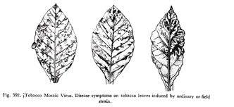 Symptoms Of Viral Diseases In Plants - tobacco mosaic virus symptoms and control