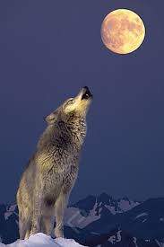 gray wolf howling at the moon athena posters