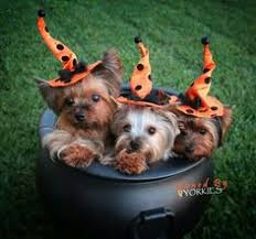 Yorkie Halloween Costumes Yorkie Halloween Costume Chia Pet Kirstie Chia