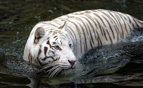 white tiger high resolution wallpapers wallpapers photosz