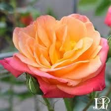color roses heirloom roses color roses heirloom roses