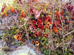 native plants in pennsylvania pitcher plant wikipedia