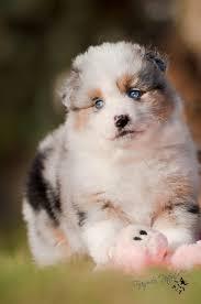 australian shepherd welpen 4 monate australian shepherd welpen rassehunde hunde welpen