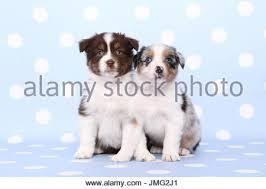 australian shepherd 6 weeks picture of two australian shepherd puppies in a dog basket stock