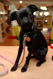 affenpinscher for sale ohio affenpinscher for sale melbourne 66 best pets in threads