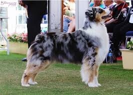lifespan of australian shepherd about the breed u2013 blueamble australian shepherds