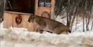 bobcat on prowling kingston home saturday hshire