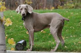weimaraner vs afghan hound weimaraner temperament u0026 personality