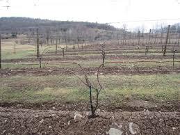 grapes wine u0026 grapes u