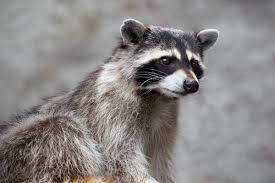maine jogger drowns rabid raccoon in puddle with her bare hands