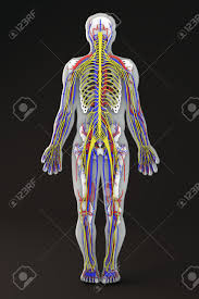Nervous System Human Anatomy Human Body Skeleton Section Circulatory And Nervous System Stock