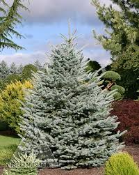 15 best evergreen trees images on evergreen trees