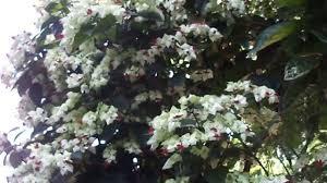 Famosos Características e cultivo da Lágrima-de-cristo (Clerodendron  &LW42