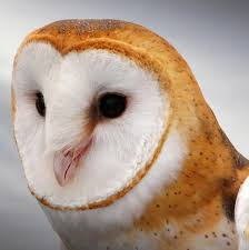 What Does A Barn Owl Look Like Barn Owl The Audubon Birds U0026 Climate Change Report