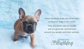 diamond bulldog 1 256 photos 79 reviews pet breeder lake