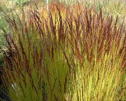 104 best ornamental grasses images on ornamental