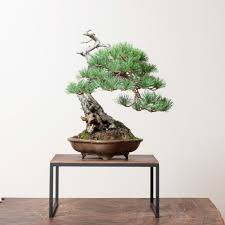 buy bonsai tree and properly maintain some tips fresh design pedia