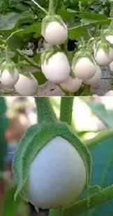 baum fã r balkon eierbaum samen schnellwuechsige pflegeleichte bluehende pflanzen