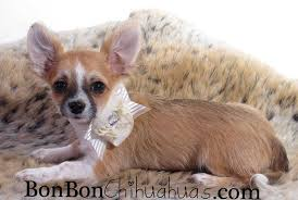 long hair chihuahua hair growth what to expect long hair chihuahua bonbon chihuahuas
