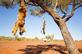 dead dogs in trees what s that all about abc news australian