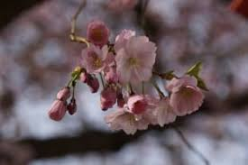 cherry blossoms macro white spring free images imaiges