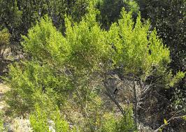 native sonoran desert plants baccharis sarothroides wikipedia