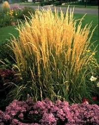 karl foerster feather reed grass wilson nurseries