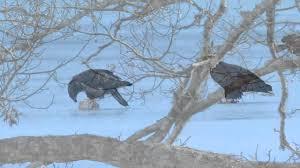 bald eagles on cape cod youtube