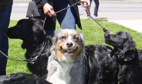australian shepherd hound mix quintuple dog day australian shepherd and four australian