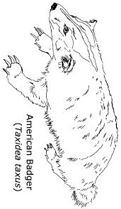 american badger coloring page badgers pinterest kindergarten