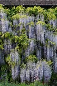 ornamental trees shrubs birch amelanchier more