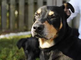 dog euthanasia dog named lazarus survives euthanasia attempt ny daily news