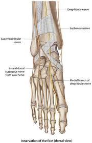 Foot Anatomy Nerves Humannervesspinalfoot Ahuman Wiki