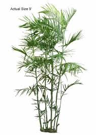 bamboo palm tree welcome to your local nursery offering