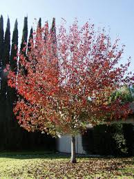ornamental pear tree pyrus calleryana bradford pear tree