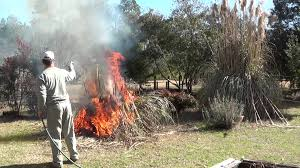 safely burn or trim pas grass how to clean up pas grass