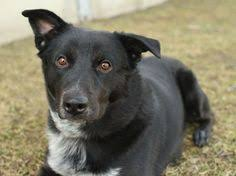belgian sheepdog lab mix collie cross and labrador lots of dogs pinterest crosses