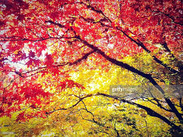 maple leaves changing from summer to autumn color stock photo