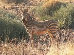 mountain zebra facts diet u0026 habitat information