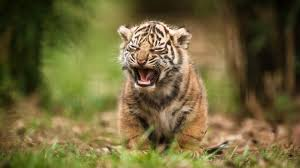 download wallpaper 1920x1080 tiger baby cry blur full hd 1080p